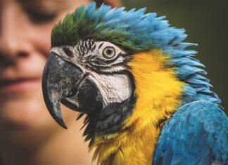 Ara – ptak domowy